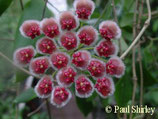Hoya sp. 7-35 GPS 10161 ROOTED cutting