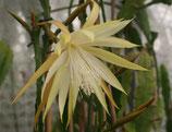 Epiphyllium Agatha Paetz unrooted cutting