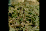 Ceropegia woodii unrooted cutting