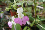 Impatiens balfouri unrooted cutting