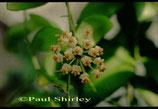 Hoya sp. Sulawesi GPS 8841 unrooted cutting