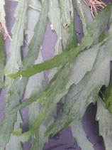 Rhipsalis houlletiana unrooted cutting