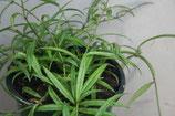 Hoya pauciflora GPS 151 unrooted cutting