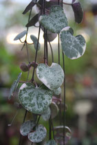 Ceropegia woodii variegata unrooted cutting