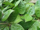 Hoya parasitica Dark Edge GPS 10347 unrooted cutting