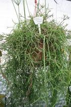 Rhipsalis suareziana GPS 5859 unrooted cutting