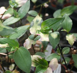 Tradescantia luminescens 'Blushing Bride' unrooted cutting