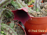 Huernia keniensis ROOTED cutting