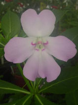 Impatiens sodenii ssp olivera unrooted cutting
