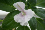 Impatiens henslowiana unrooted cutting