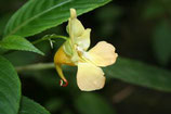Impatiens mengtzeana unrooted cutting