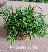 Rhipsalis aurea unrooted cutting