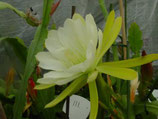 Epiphyllium Zaffarin unrooted cutting