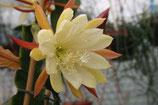 Epiphyllium Dominator unrooted cutting