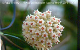 Hoya verticillata `spear mint` GPS 10087 unrooted cutting