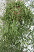 Rhipsalis zurizilan GPS 5839 unrooted cutting