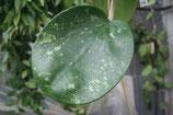 Hoya loyceandrewsiana GPS 10029 unrooted cutting