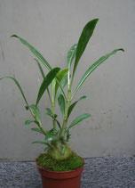 Hydnophytum selebicum PLANT with TUBER