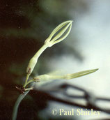 Ceropegia stenantha unrooted cutting