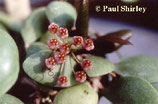 Hoya sp. GPS 7724 unrooted cutting