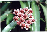 Hoya kentiana GPS 7402 unrooted cutting
