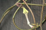 Ceropegia arenaria unrooted cutting