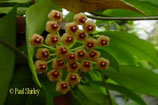 Hoya sp. ambon GPS 3322 ROOTED cutting