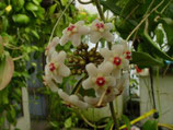 Hoya sp. affin. carnosa Taiwan GPS 10141 unrooted cutting