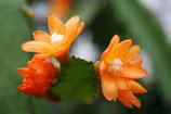 Acanthorhipsalis monacantha unrooted cutting