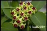 Hoya densifolia GPS 3079 unrooted cutting