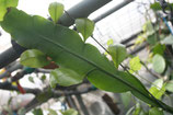 Epiphyllium Oxypetalum unrooted cutting