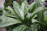 Hoya pubicalyx Splash GPS 10332 unrooted cutting