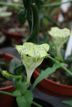 Ceropegia sandersonii unrooted cutting