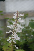 Plectranthus venteri unrooted cutting