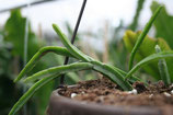 Rhipsalis tonduzii R435 unrooted cutting