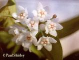 Hoya thompsonii GPS 5838 unrooted cutting