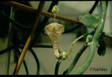 Ceropegia haygarthii unrooted cutting