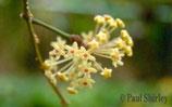 Hoya pentaphlebia GPS 1774 ROOTED cutting
