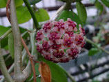 Hoya diversifolia GPS 4209 unrooted cutting