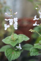 Plectranthus angulatus unrooted cutting