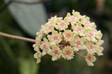 Hoya sp. affin. parasitica GPS 7198 ROOTED cutting