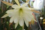 Epiphyllium Caroline unrooted cutting