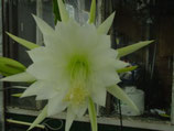 Epiphyllium Gardenia unrooted cutting