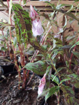 Impatiens species unrooted cutting