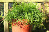 Rhipsalis cassutha unrooted cutting