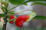 Impatiens niamniamensis African King unrooted cutting