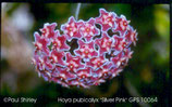 Hoya pubicalyx Silver Pink GPS 10064 ROOTED cutting