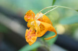 Impatiens capensis unrooted cutting