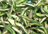 Hoya wayetii variegata GPS 10346 ROOTED cutting