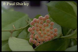 Hoya sp. USDA 81079 GPS 10079 unrooted cutting